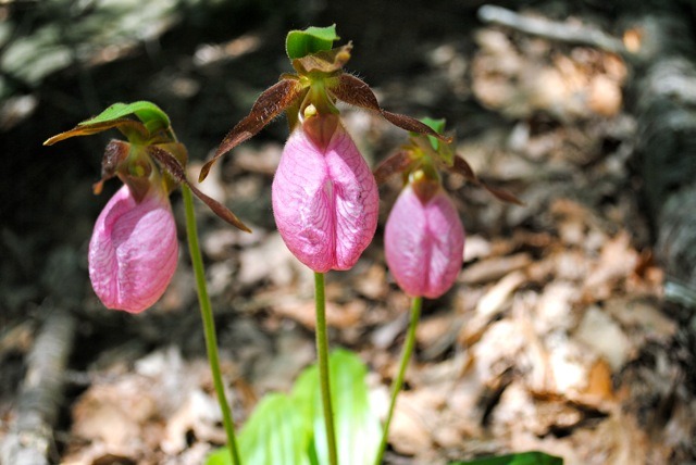 Trio of Pink Lady Slippers