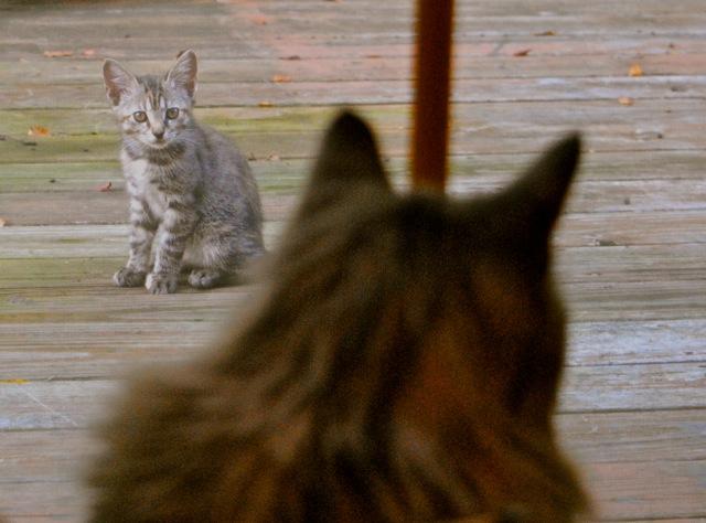 Baxter watching the kitten