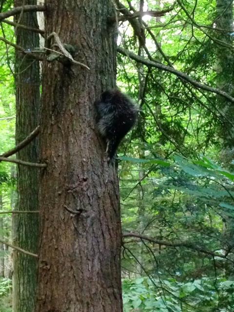 Porcupine climbing a tree